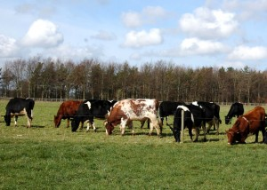 Cows on patsure 1