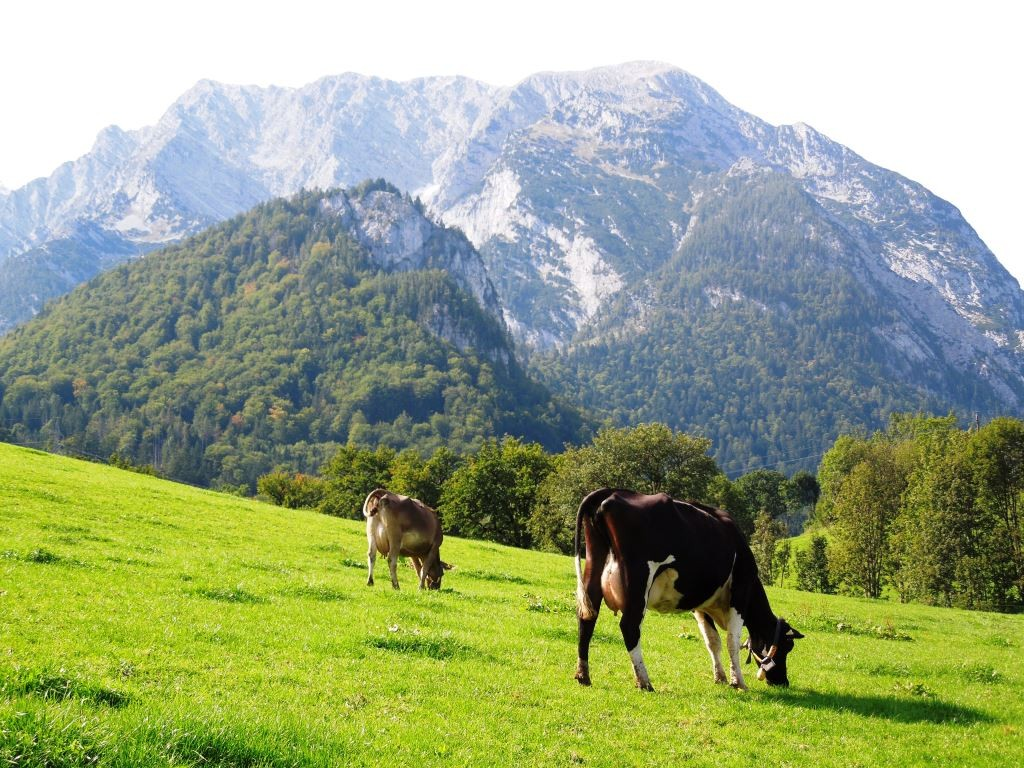 Austrian cows grazing an alpine pasture