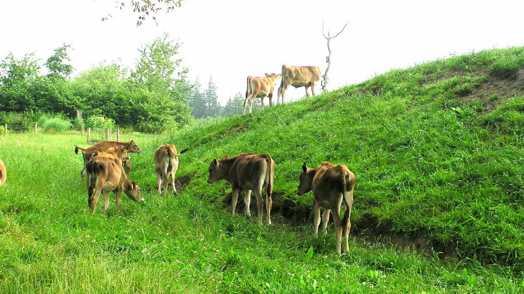 Calfs on a natural pasture