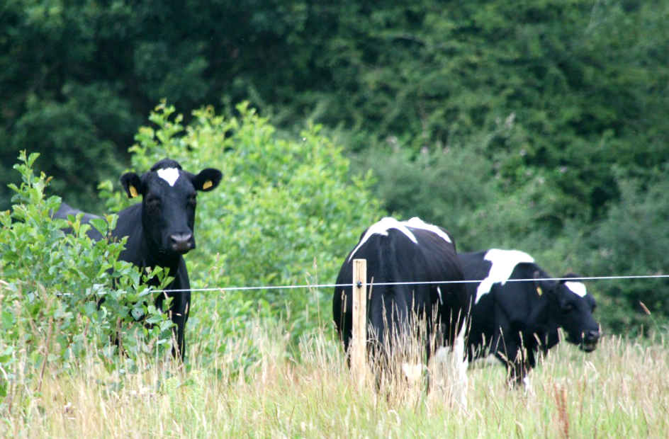 agro-forestry cows