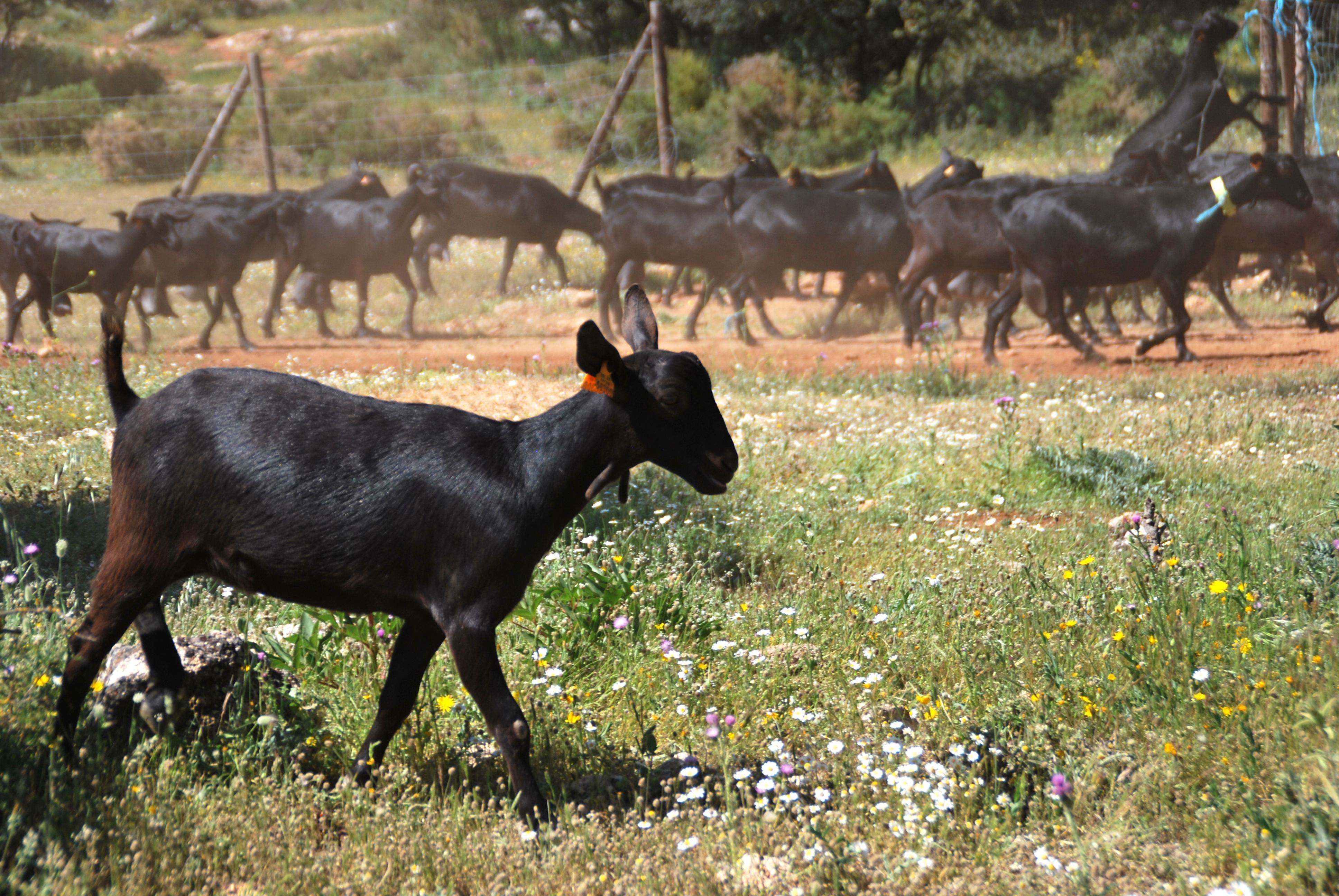 Goat, spain